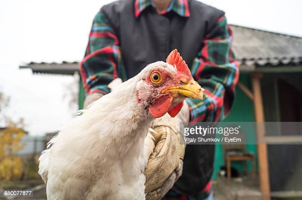 Midsection Of Man Holding Rooster