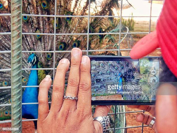 Midsection Of Man Photographing Peacock Using Smart Phone