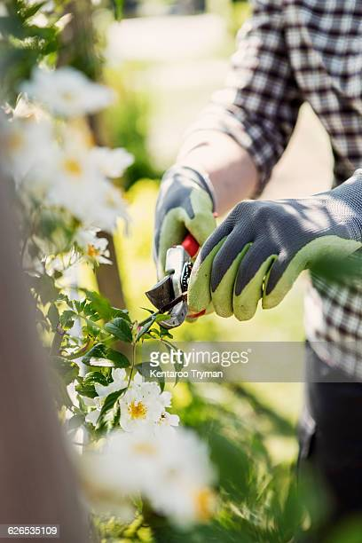 Midsection of mature woman cutting plants with pruning shears at community garden