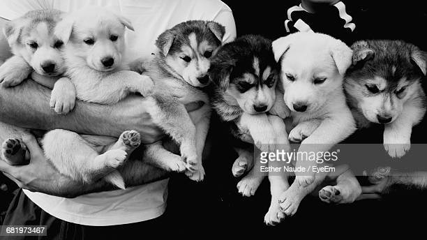 Midsection Of People Holding Siberian Husky Puppies