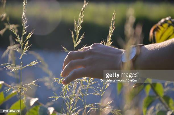 midsection of person holding corn field - jelena ivkovic stock pictures, royalty-free photos & images