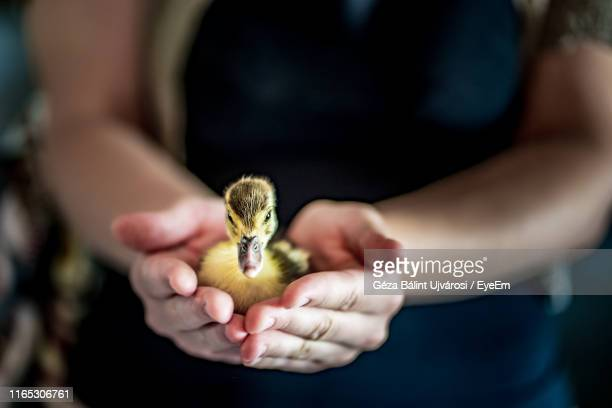 midsection of person holding duckling - duckling stock pictures, royalty-free photos & images