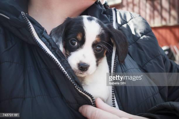 midsection of person holding puppy under his jacket - grupo mediano de animales imagens e fotografias de stock