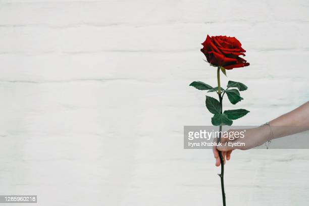midsection of person holding red rose against white wall - bevrijden stockfoto's en -beelden