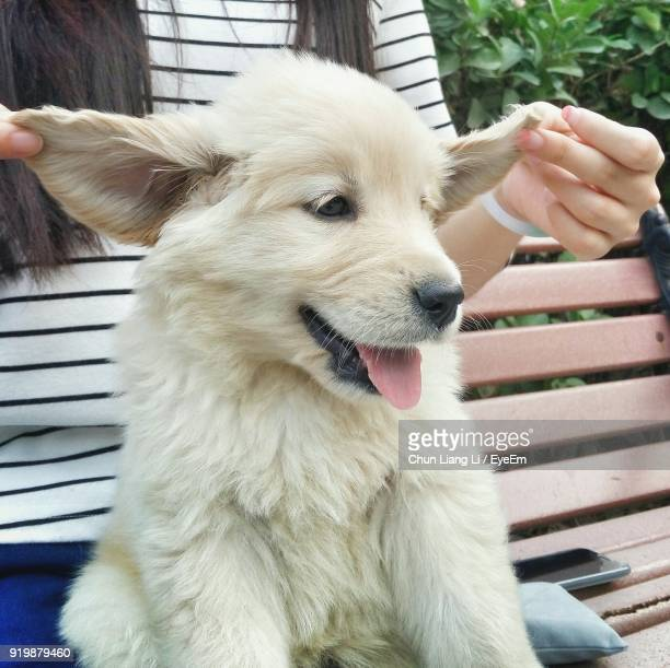 midsection of playful woman with puppy on bench - animal ear stock photos and pictures