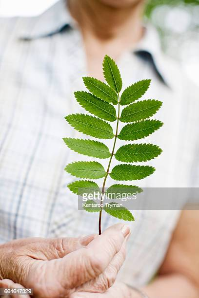 Midsection of senior woman holding fresh leaves