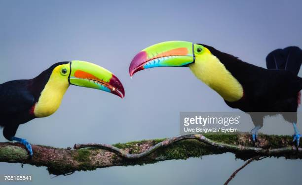 midsection of two toucans facing each other - toucan stock photos and pictures
