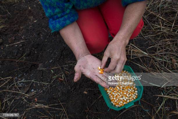 Midsection of woman holding corn kernels at farm