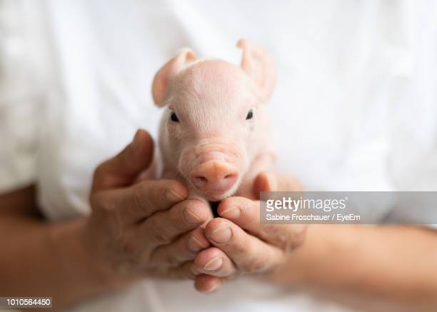 midsection of woman holding piglet - pig stock pictures, royalty-free photos & images