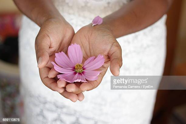 Midsection Of Woman Holding Pink Cosmos Flower