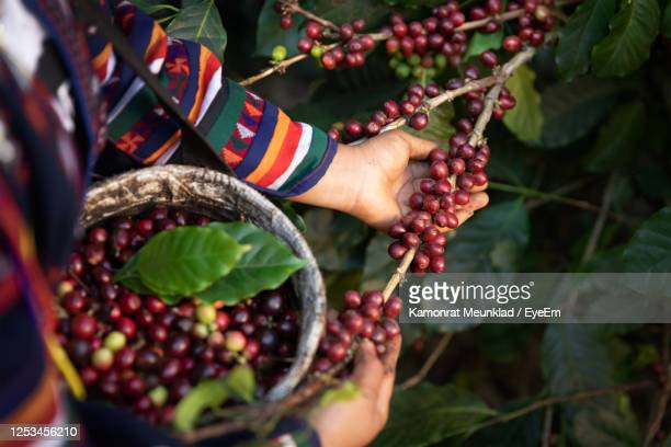 midsection of woman picking berries from plant - colombia stock pictures, royalty-free photos & images