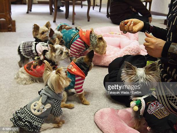 Midsection Of Woman Sitting By Cute Yorkshire Terrier Puppies At Home