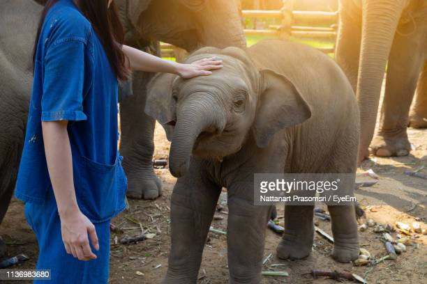 midsection of woman touching elephant calf - zoo stock pictures, royalty-free photos & images