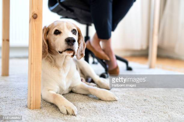 A midsection of woman working in home office, a pet dog sitting under the desk.