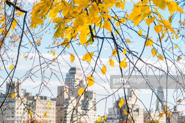 midtown manhattan skyscrapers can be seen among the autumn color trees, behind the reservoir at late afternoon in central park new york ny usa on nov. 07 2018. - central park reservoir stock pictures, royalty-free photos & images