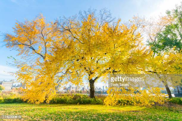midtown manhattan skyscrapers can be seen through an autumn color tree behind the reservoir at late afternoon in central park new york ny usa on nov. 07 2018. - central park reservoir stock pictures, royalty-free photos & images