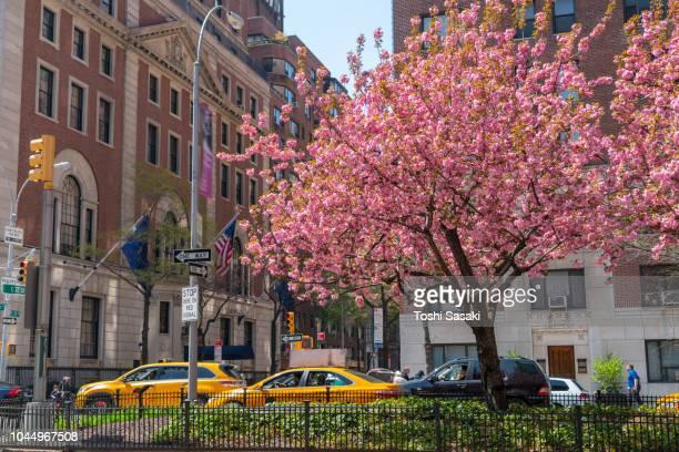 midtown manhattan traffic go through along the full-bloomed cherry blossoms trees on park avenue at midtown manhattan new york usa on apr. 28 2018. - パークアベニュー ストックフォトと画像