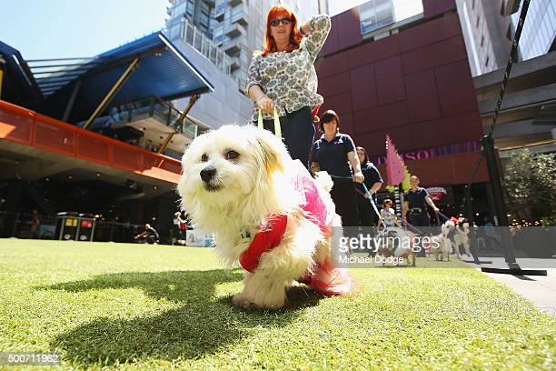 Miffy the seven months old female Maltese Mix parades at QV Square during the Festive Best Dressed Dog Competition for The Lost Dogs' Home charity...