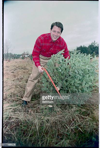 Senator Albert Gore Jr smiles as he saws down 12/12 Christmas tree to be donated to a Nashua New Hampshire homeless center Sen Gore cut the tree down...