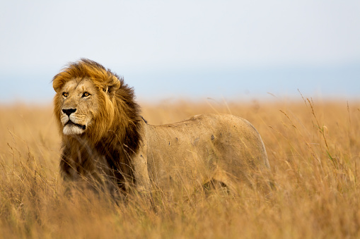 Mighty Lion watching the lionesses 486552697