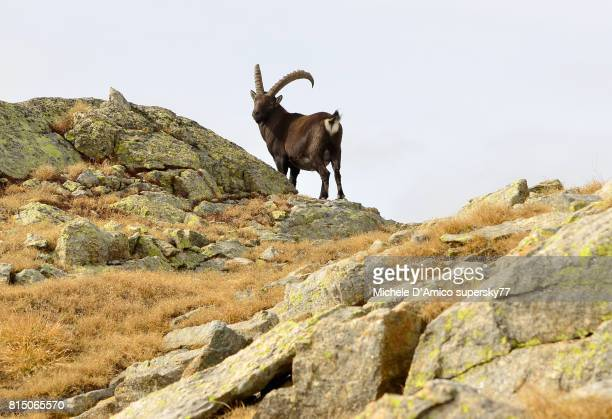 Mighty male alpine Ibex on a rocky plateau in Gran Paradiso National Park