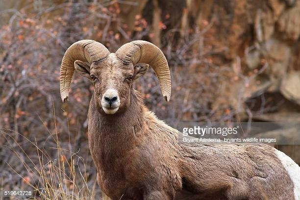 mighty ram - file:bighorn,_grand_canyon.jpg stock pictures, royalty-free photos & images