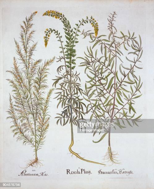 Mignonette Southernwood and Tarragon from 'Hortus Eystettensis' by Basil Besler pub I Reseda Plinij II Dracuncellus Hortensis III Abrotanum Mas...