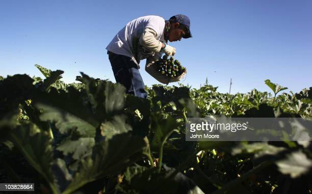 A migrant farm worker from Mexico harvests organic zucchini while working at the Grant Family Farms on September 3 2010 in Wellington Colorado The...