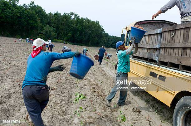 Migrant farm workers work in a field harvesting sweet potatoes The agricultural fields of rural Eastern North Carolina produce bountiful crops for...