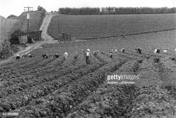 Migrant laborers works in California's strawberry fields outside of Salinas in Monterey County on July 30 1997 The United Farm Workers union suffered...