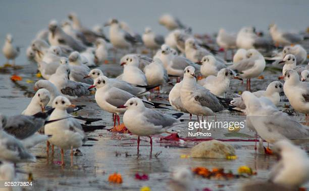 Migrant siberian birds on the banks of Holy sangam,confluence of River Ganges,Yamuna and mythical Saraswati,in Allahabad on December 13,2015.