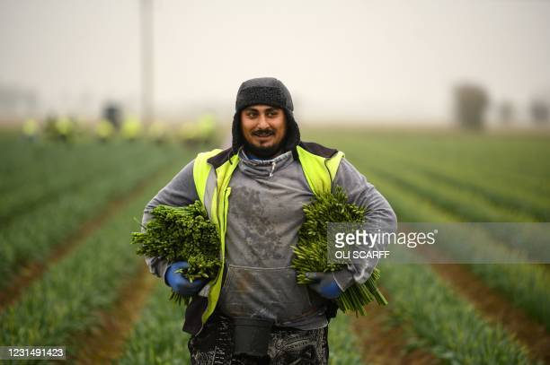 Migrant worker flower picker from Romania collects up his harvested daffodils on Taylors Bulbs farm near Holbeach in eastern England, on March 3,...