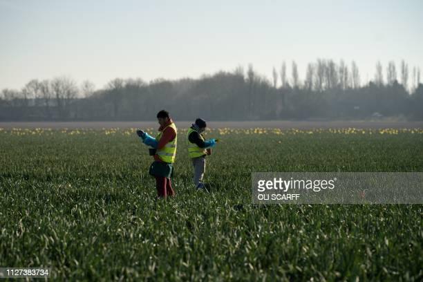 Migrant worker flower pickers from Romania harvest daffodils on Taylors Bulbs farm near Holbeach in eastern England on February 25 2019 Taylors Bulbs...