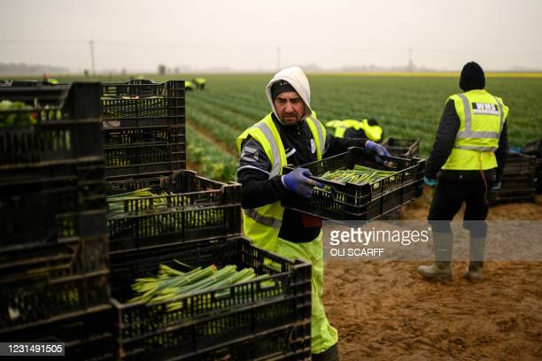 Migrant worker flower pickers from Romania harvest daffodils on Taylors Bulbs farm near Holbeach in eastern England, on March 3, 2021. - Taylors...