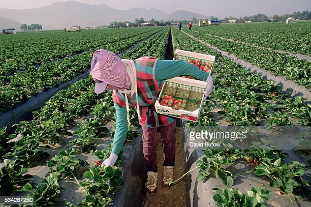 Migrant Worker Harvesting California Strawberries
