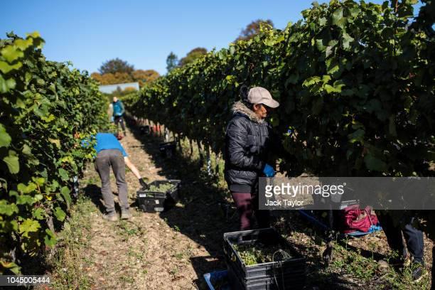 Migrant Worker pick Chardonnay grapes during the harvest at Hambledon Vineyard on October 3, 2018 in Hambledon, United Kingdom. Around 80...