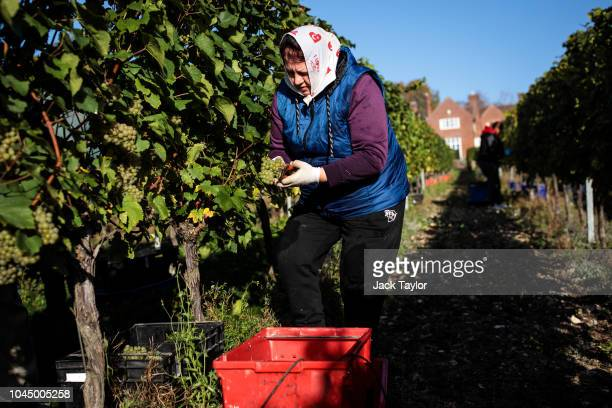 Migrant Worker picks Chardonnay grapes during the harvest at Hambledon Vineyard on October 3 2018 in Hambledon United Kingdom Around 80 predominantly...