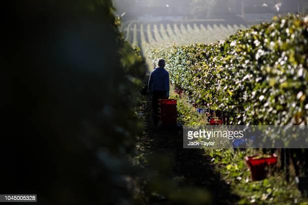 Migrant Worker picks Chardonnay grapes during the harvest at Hambledon Vineyard on October 3 2018 in Hambledon United Kingdom Around 80 predominantly...