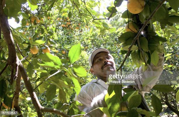 A migrant worker picks oranges at a grove March 29 2006 in Bradenton Florida Much of the agriculture work in the area including winter vegetables and...