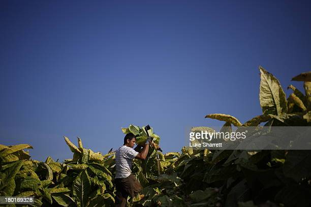 Migrant worker Victor Parra of Mexico cuts Burley tobacco grown by Tucker Farms before hanging the leaves in barns to begin their six week curing...