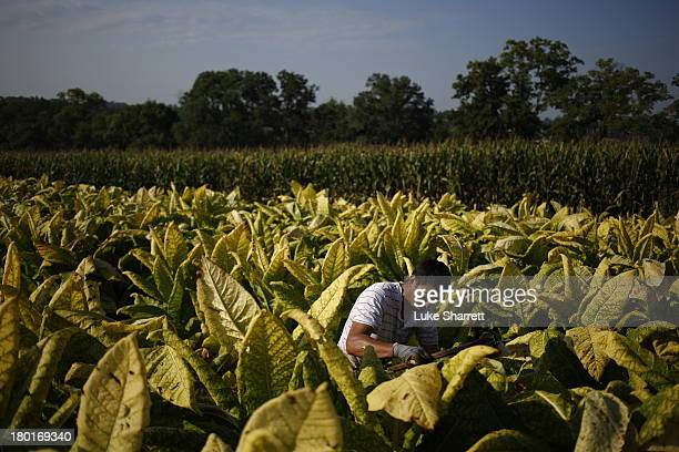 Migrant worker Victor Parra of Mexico harvests Burley tobacco grown by Tucker Farms before hanging the leaves in barns to begin their six week curing...