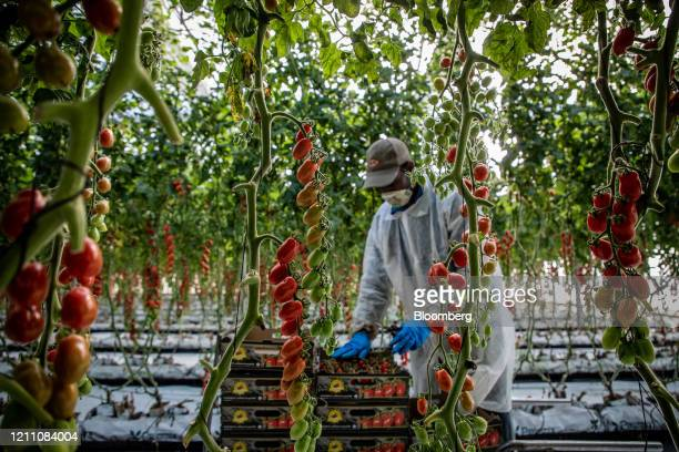 Migrant worker, wearing a protective face mask and gloves, collects ripe cherry tomatoes inside a greenhouse at the Hortalisses Pi farm in Girona,...