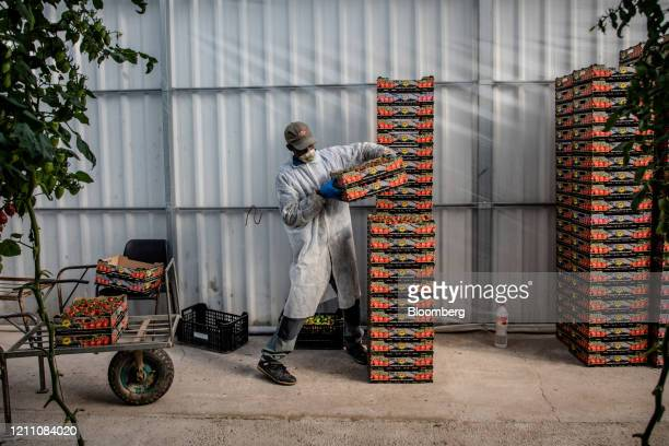 Migrant worker, wearing a protective face mask, stacks boxes of ripe cherry tomatoes inside a greenhouse at the Hortalisses Pi farm in Girona, Spain,...