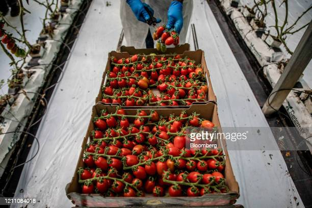 Migrant worker, wearing protective gloves, cuts ripe cherry tomatoes inside a greenhouse at the Hortalisses Pi farm in Girona, Spain, on Friday,...