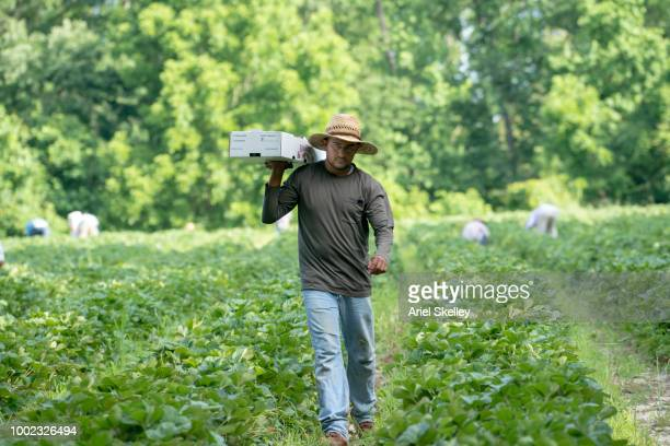 Migrant Worker Working on a Strawberry Farm