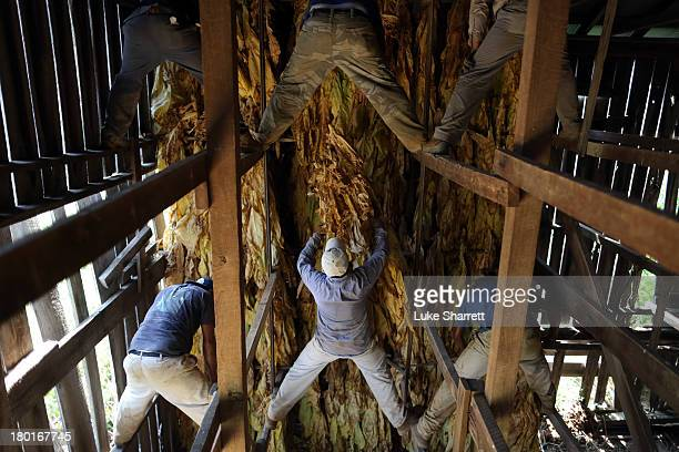 Migrant workers from Mexico and Nicaragua hang Burley tobacco grown by Tucker Farms in a tobacco barn to start the leaves' six week curing process...