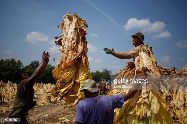 Migrant workers from Mexico and Nicaragua harvest Burley tobacco grown by Tucker Farms before hanging the leaves in barns to begin their six week...