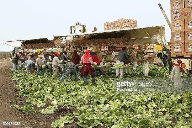 Migrant workers harvest lettuce in Salinas California on September 27 2006 Less than a week after the Food and Drug Administration lifted its warning...