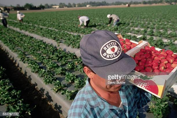 Migrant Workers Harvesting California Strawberries
