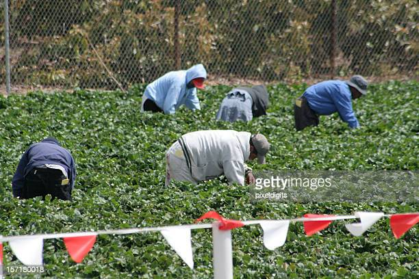 migrant workers in the field - farm worker stock pictures, royalty-free photos & images